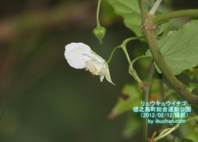 リュウキュウイチゴの花