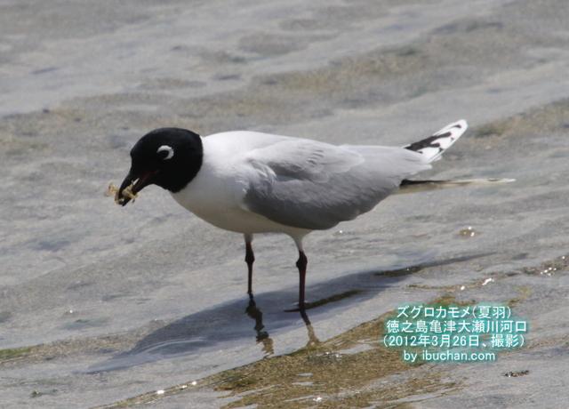ズグロカモメ(夏羽)