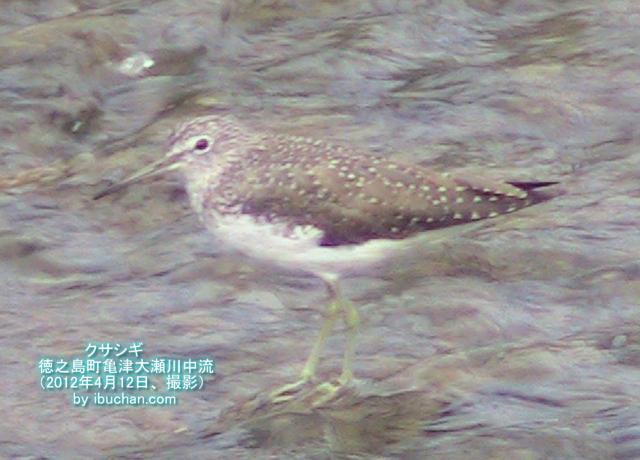 大瀬川のクサシギ