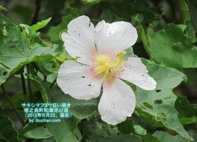 サキシマフヨウ狂い咲き