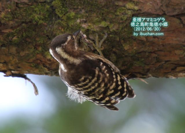亜種アマミコゲラ(雌)