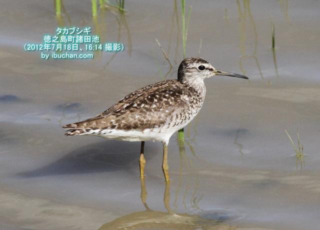 タカブシギ(夏羽)