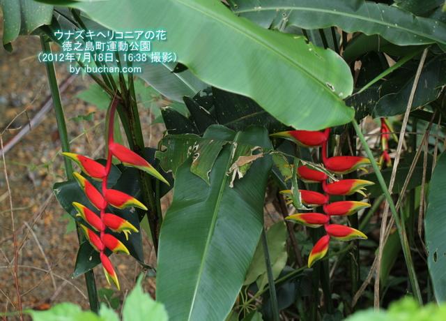 ウナズキヘリコニアの花
