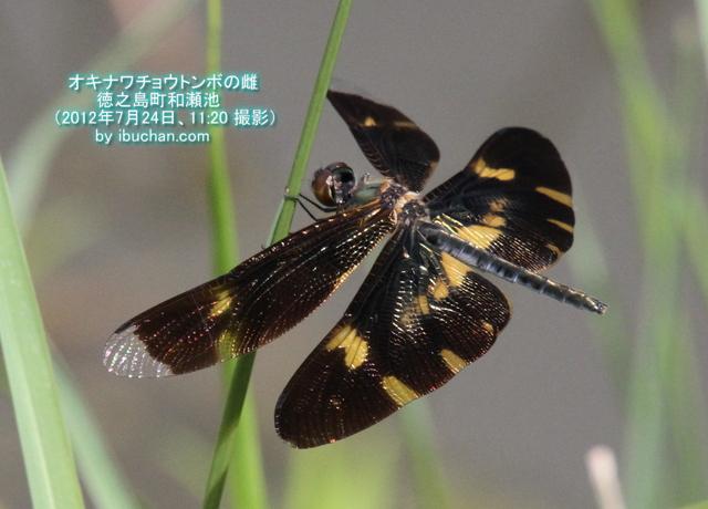 オキナワチョウトンボの雌