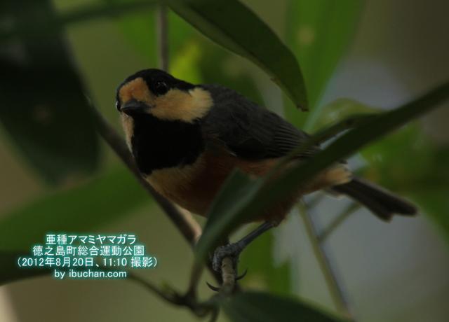 亜種アマミヤマガラ
