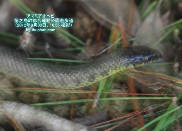 アマミアオヘビ