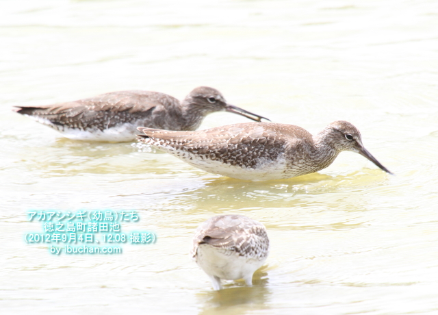 アカアシシギ(幼鳥)たち