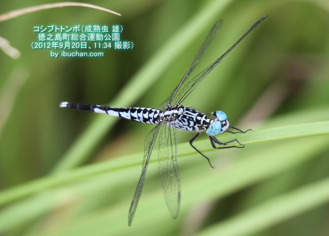 コシブトトンボ(成熟虫 雄)