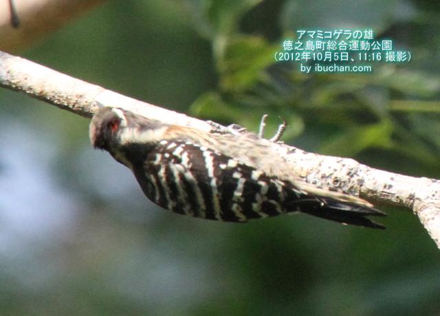アマミコゲラ(雄)
