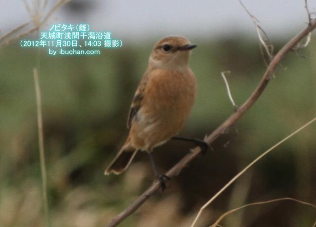 ノビタキ(雌)