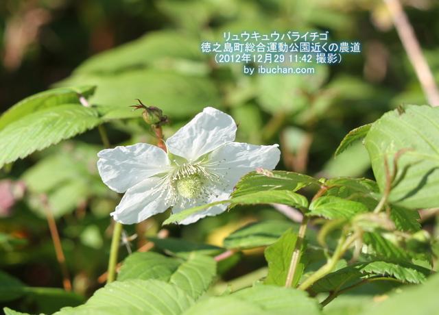 リュウキュウバライチゴ(オオバライチゴ)