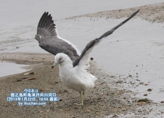 ウミネコの飛翔
