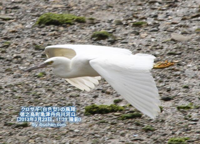 クロサギ(白色型)の飛翔