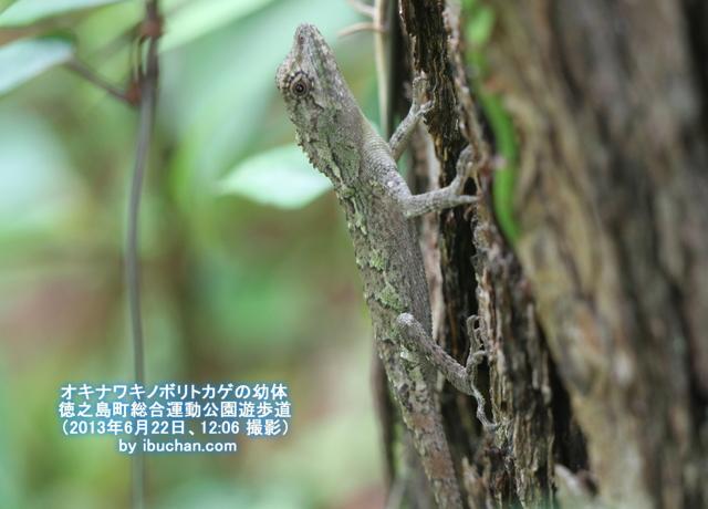 オキナワキノボリトカゲの幼体再登場