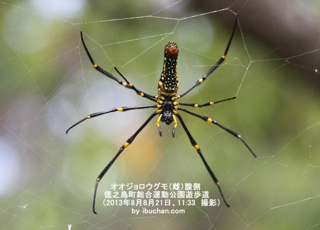 オオジョロウグモ(雌)腹側