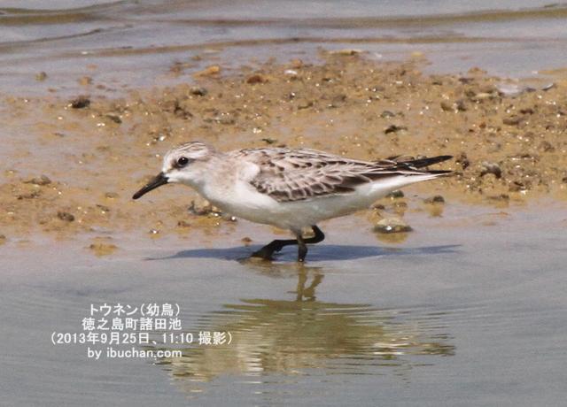 トウネン(幼鳥)