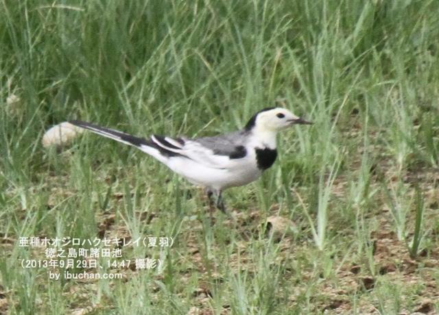 亜種ホオジロハクセキレイ(夏羽)