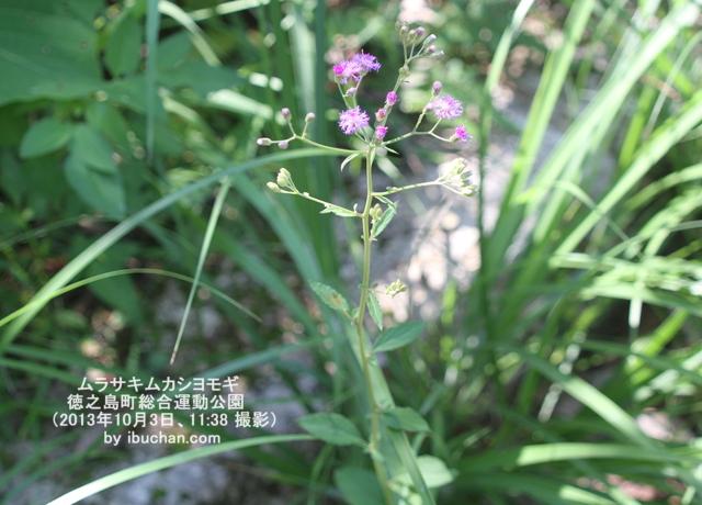 ムラサキムカシヨモギ(紫昔蓬)