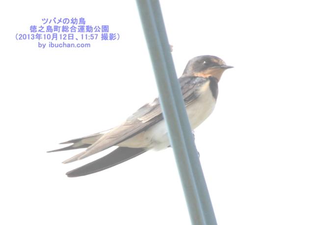 ツバメの幼鳥