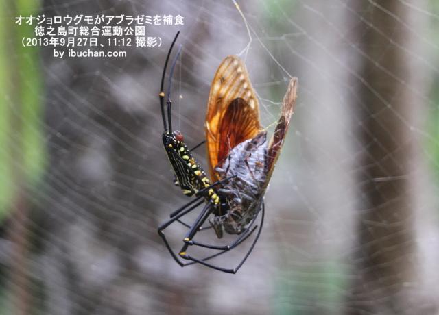 オオジョロウグモがアブラゼミを補食
