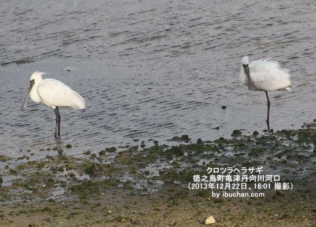 クロツラヘラサギが2羽