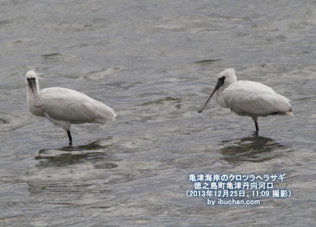 亀津海岸のクロツラヘラサギ