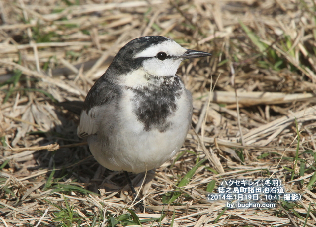 ハクセキレイ(冬羽)