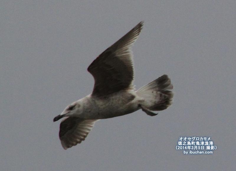 オオセグロカモメ(幼鳥)