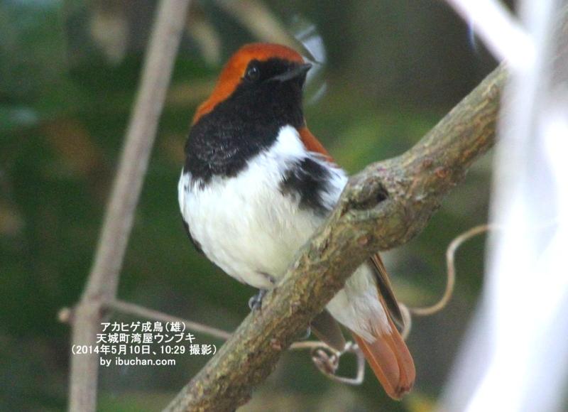 アカヒゲ成鳥(雄)