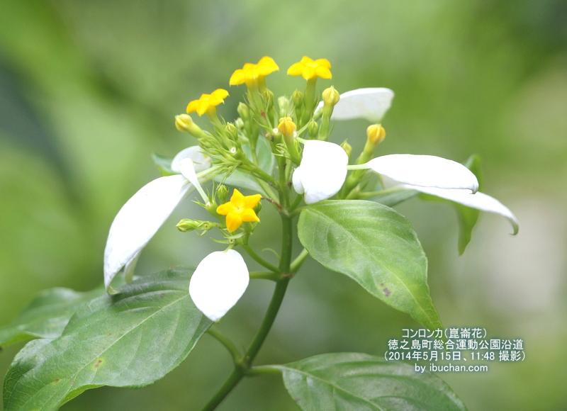 コンロンカ(崑崙花)
