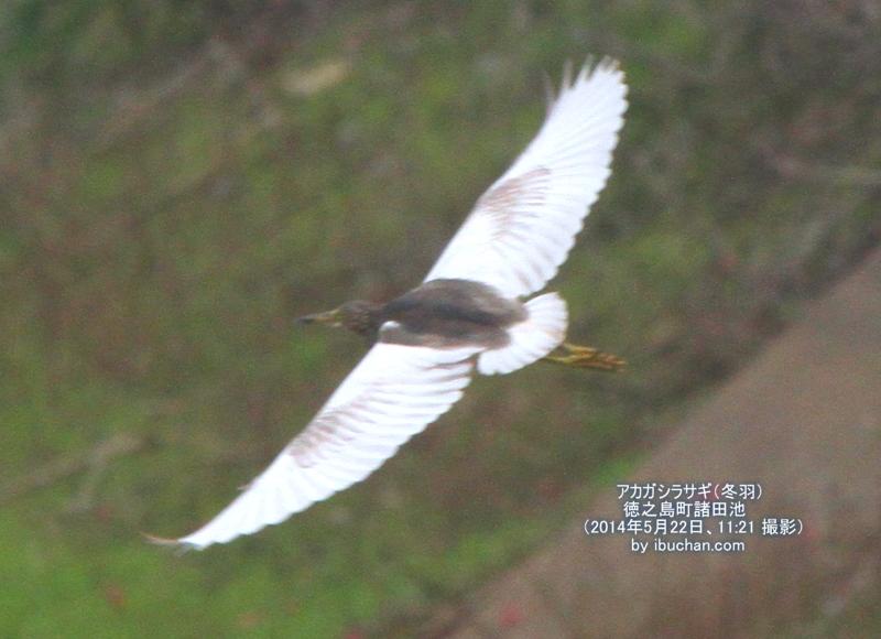 アカガシラサギ(冬羽)