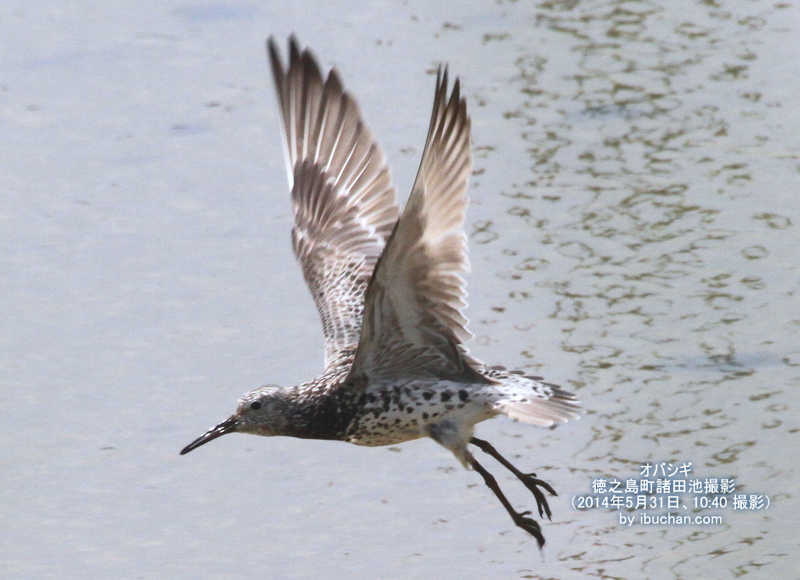 オバシギの飛翔