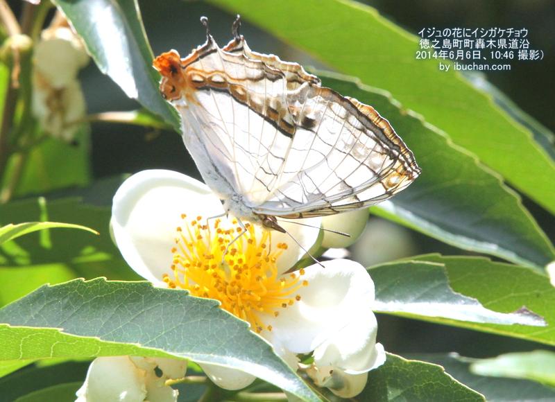 イジュの花にイシガケチョウ