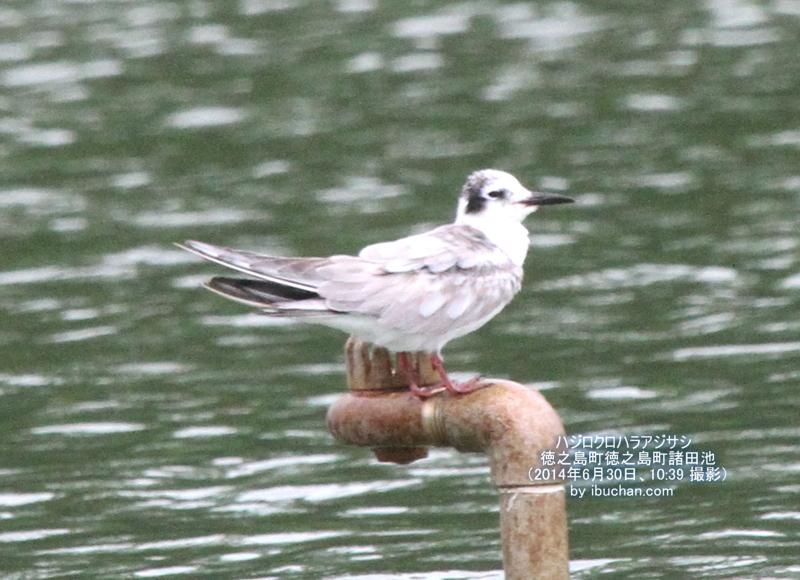 ハジロクロハラアジサシ(幼鳥夏羽)