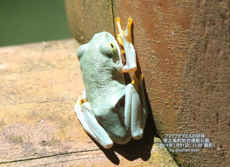 アマミアオガエルの幼体