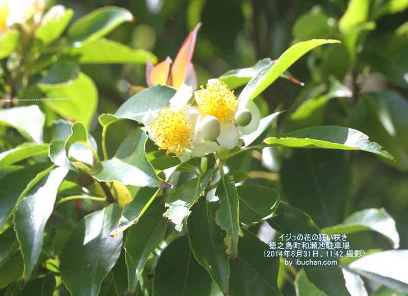 イジュの花の狂い咲き