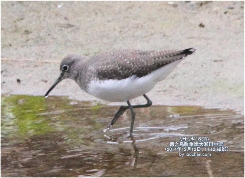 クサシギ(冬羽)