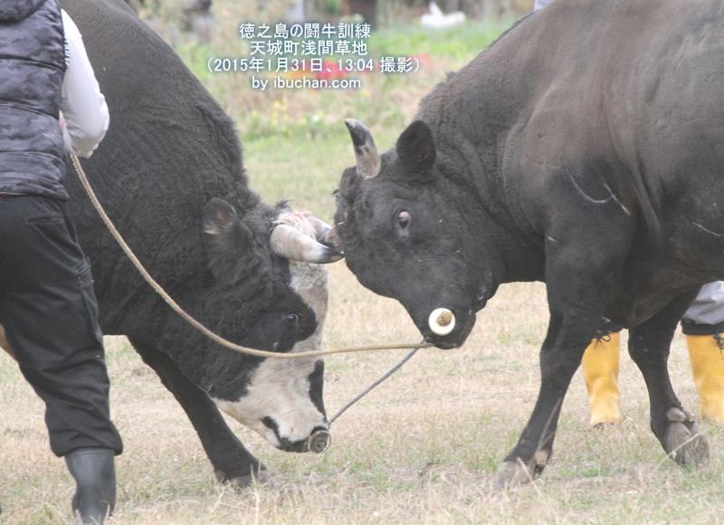 徳之島の闘牛訓練