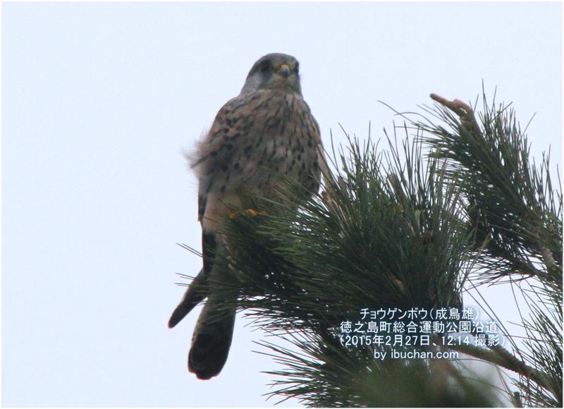チョウゲンボウ(成鳥雄)