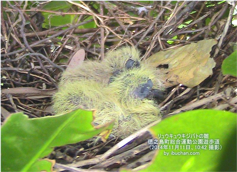 リュウキュウキジバトの雛