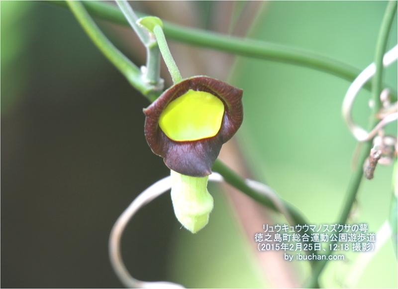 リュウキュウウマノスズクサの萼