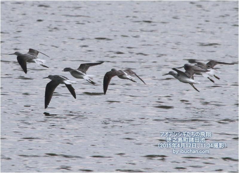 アオアシシギたちの飛翔
