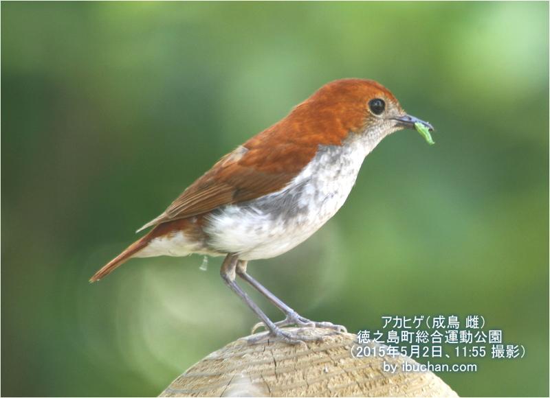 アカヒゲ(成鳥 雌)