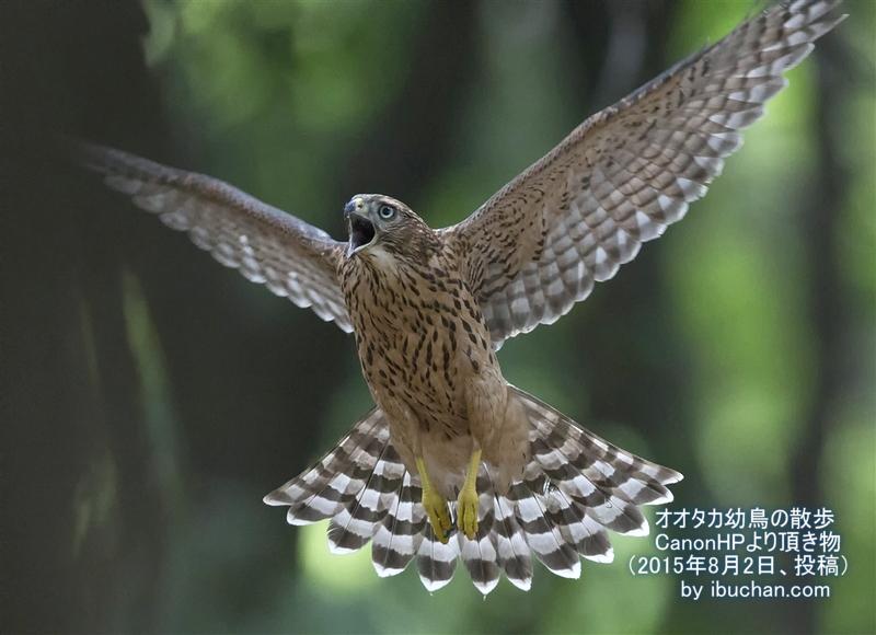 オオタカ幼鳥の散歩