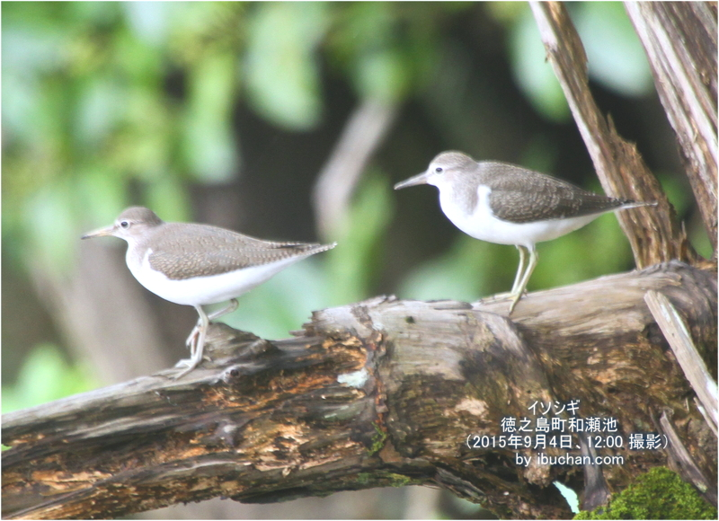 イソシギ(幼鳥)