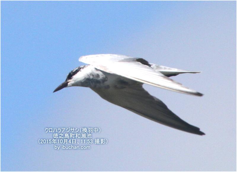 クロハラアジサシ(換羽中)