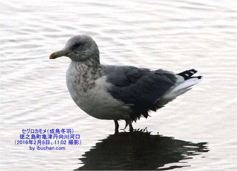 セグロカモメ(成鳥冬羽)