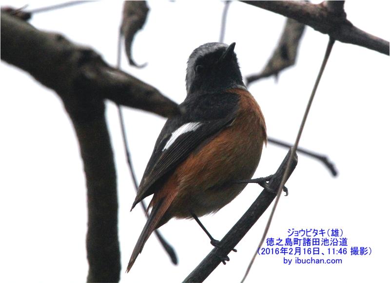 ジョウビタキ(雄)写真