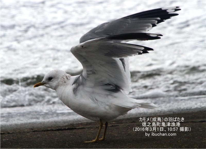 カモメ(成鳥)の羽ばたき