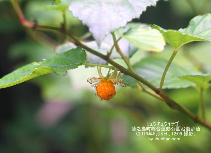 リュウキュウイチゴ